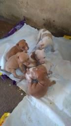 Filhotes de pitibul