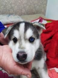 Husky Siberiano com e sem pedigree