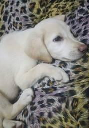 Filhote Labrador Mestiço Até 12 X No Cartão
