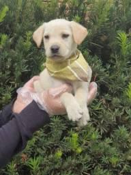 Título do anúncio: Labrador filhotes fofinhos *-* ///11.9.5600-5535