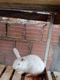 Vendo filhote de coelho macho