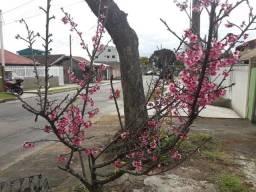 Doa-se uma cerejeira para ser retirada.