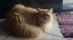 Persa fêmea adulta 3 anos castrada