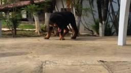 Canil Euro Filhotes de Rottweiler porte Gigante em 12x