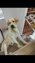 Labrador / Busco namorada
