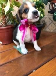 Beagle Fêmea Mas Novo Amor