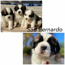 São Bernardo com pedigree microchip até em 18x