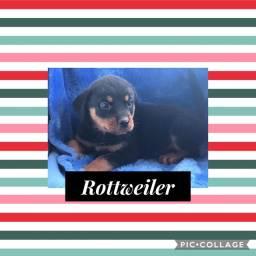 Rottweiler com pedigree e microchip em até 18x