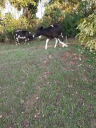 Vendo vacas bizerros
