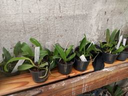 Mudas de orquídeas cattleya