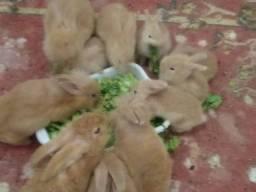 Vendo coelhos raça ANGORAR.