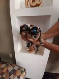 Machinho de Yorkshire Terrier Porte Pequeno 750 Aceito cartao