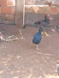 Galinha caipira e frango índio gigante