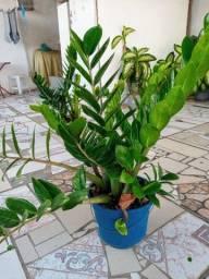 Título do anúncio: Plantas Zamioculca - Plantas para Jardim e Decoração
