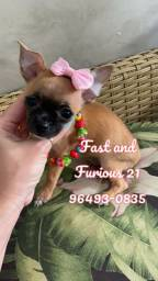 Chihuahua menina de pelagem curta.!!