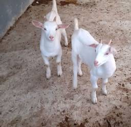 Título do anúncio: Filhote de bode  sannen com 2 meses