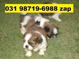 Canil Filhotes Cães Perfeitos BH Lhasa Maltês Beagle Basset Shihtzu Yorkshire Poodle