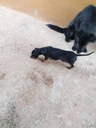 Vende se cachorra Basset dachshund 2 anos fêmea *