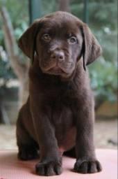 Labrador Chocolate filhotes vacinados!