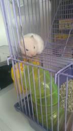 Hamster sírio filhotes