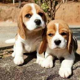 Fofos filhotes de Beagle