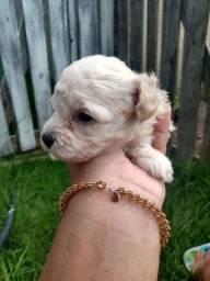 Vendo Filhote de Poodle Macho
