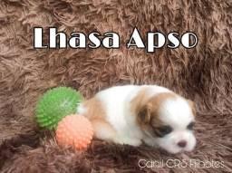 Lhasa Apso com pedigree e microchip em até 18x no