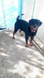 Casal de Rottweiler REGISTRADOS