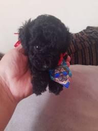 Poodle toy lindo demais?