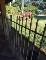 Égua Mangalarga paulista machadeira