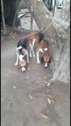 Beaglle e Fox . Filhotes a venda
