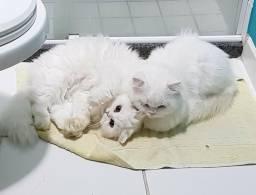 Filhote Gato Persa Cinza