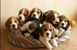 Beagle excelente escolha