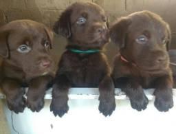 Filhotes de Labradores puros chocolate