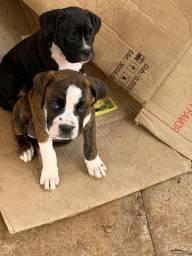 Boxer 2 meses