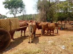 Bois carreiro e carro de boi