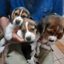 Filhotes de  beagles tricolores 13polegadas
