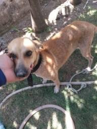Doação Responsavel de cachorra fêmea castrada