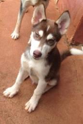 Cão Filhote de Husky Siberiano