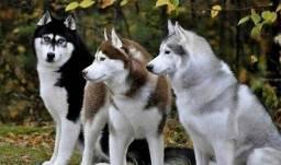 Vendo filhotes de Husk Siberiano