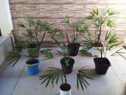 Palmeira rapis original