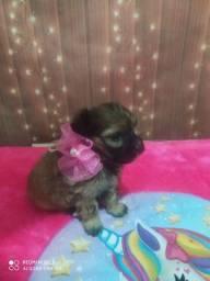 Lhasa Apso mini fêmea pedigree 900 até 12x