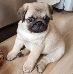 Filhotes maravilhosos de Pug