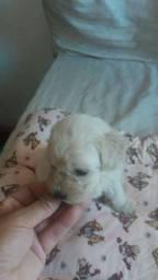 Poodle toy fêmea última Bebê