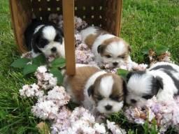 Shih tzu filhotinhos machos e fêmeas disponíveis a pronta entrega garanta já seu bebê