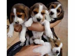 Beagle Meninas