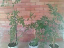 Tomateiros cereja com frutificação