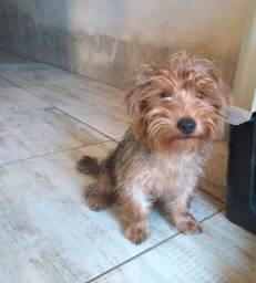 Yorkshire terrier macho vende se