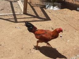 Galinhas,galos,frangas e frangos caipiras