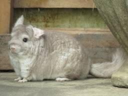 Chinchila Casal Pet